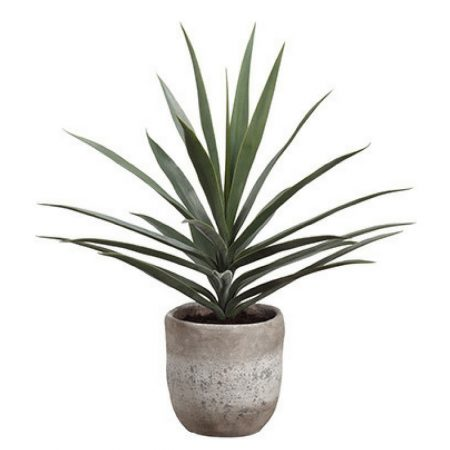 Potted Green Yucca Succulent