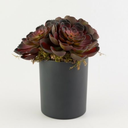 Potted Baby Red Echeveria Succulent