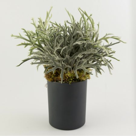 Potted Desert Fern