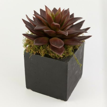 Potted Red Echeveria Succulent